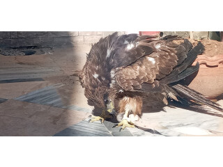Eagle for sale urgent