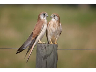 Kastrl falcon male and female