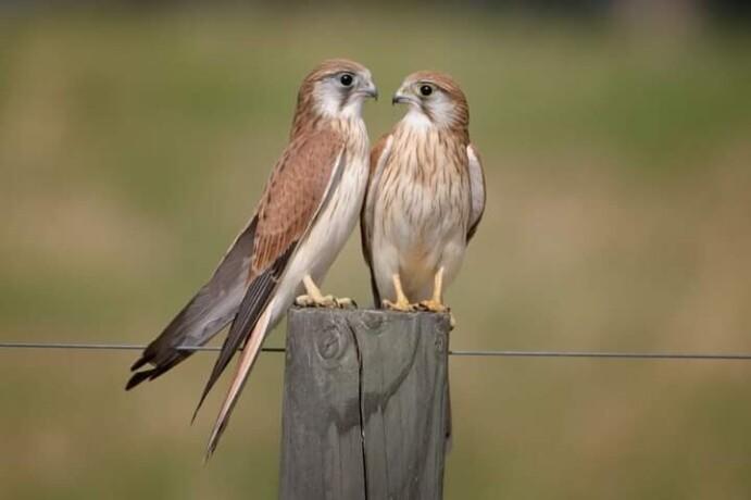 kastrl-falcon-male-and-female-big-0