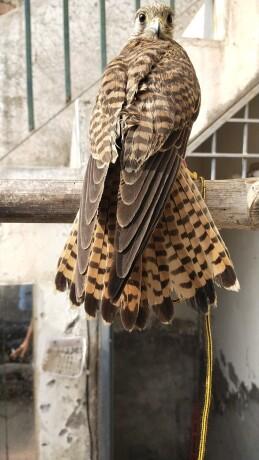 kastrl-falcon-male-and-female-big-2