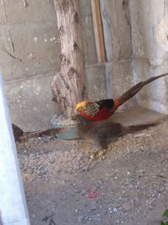 red-golden-pheasant-big-4