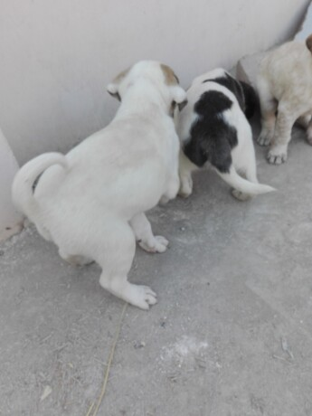 bully-kutta-puppies-for-sale-big-1