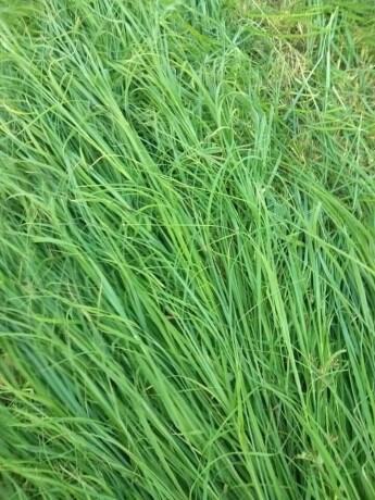 rohds-grass-big-1
