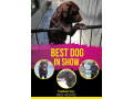 pedigreed-chocolate-champion-labrador-available-for-confirm-studmating-small-0