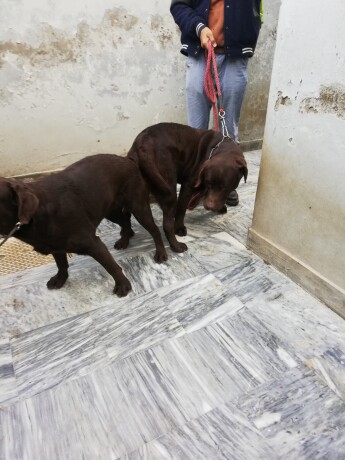 pedigreed-chocolate-champion-labrador-available-for-confirm-studmating-big-3