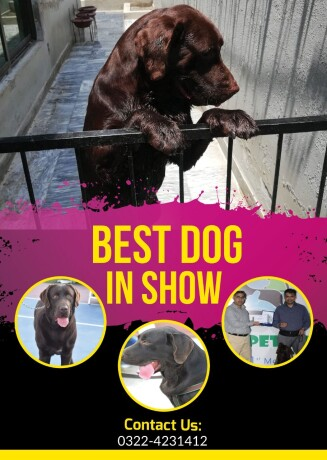 pedigreed-chocolate-champion-labrador-available-for-confirm-studmating-big-0