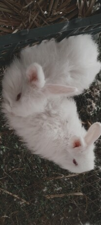 gaint-angora-bunnies-big-0