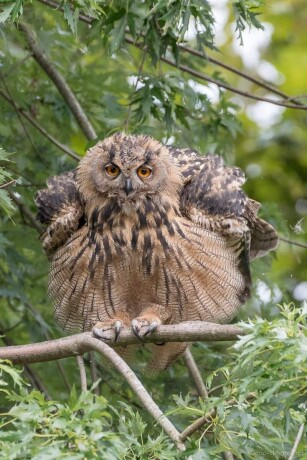 eagle-owl-big-0