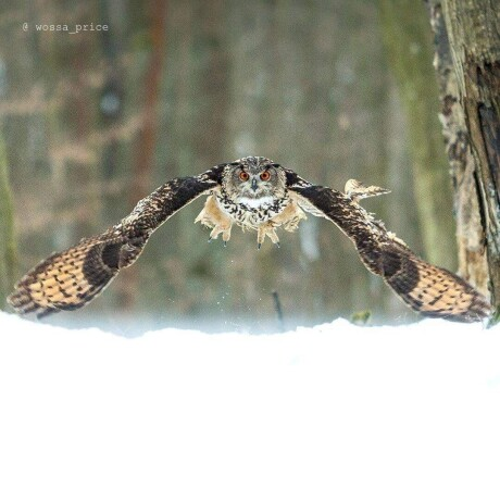 eagle-owl-big-4