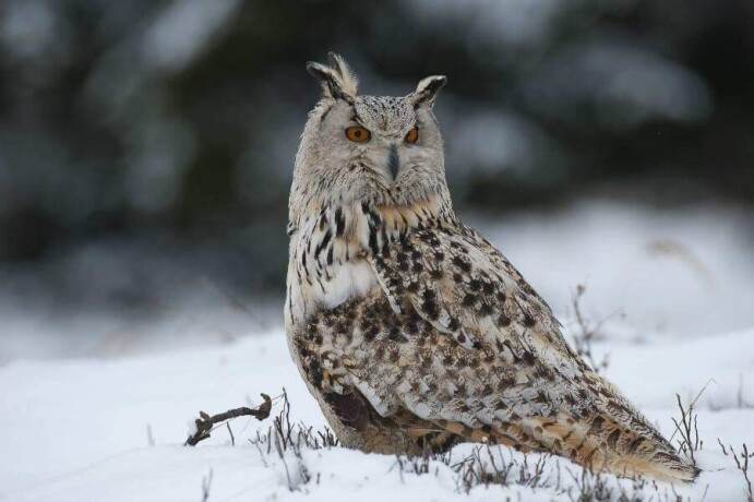 eagle-owl-big-3