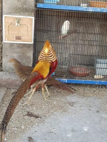 pheasant-eggs-big-2