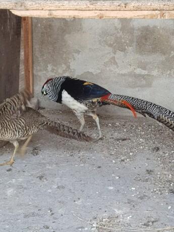 pheasant-eggs-big-1