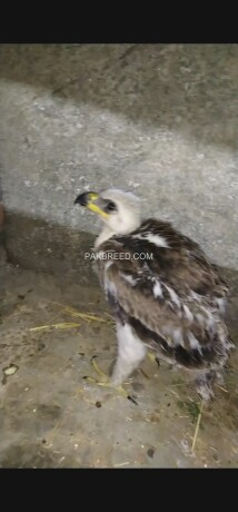 tawny-eagle-big-0