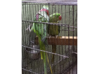 Raw parrots pair for sell