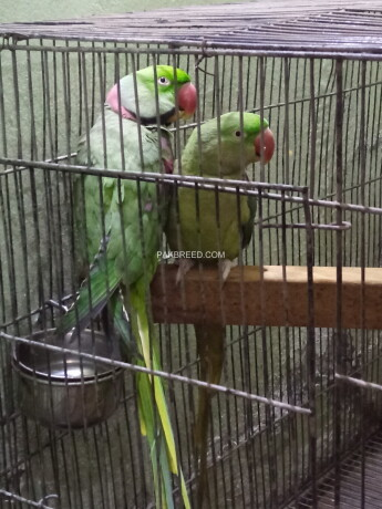raw-parrots-pair-for-sell-big-1