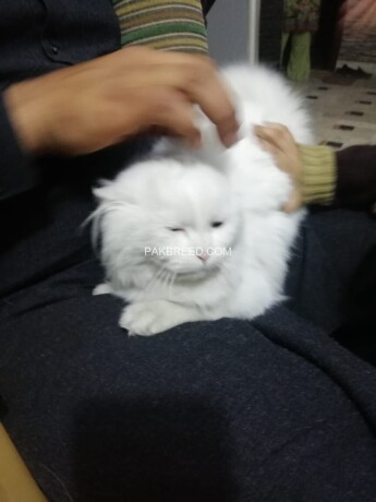 pure-persian-female-for-sale-beatifull-kitten-in-faisalabad-big-0