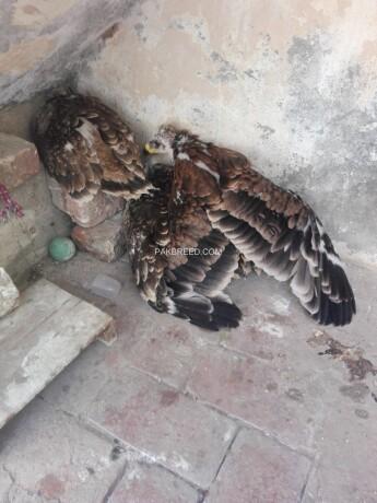 tawny-eagle-chicks-big-1