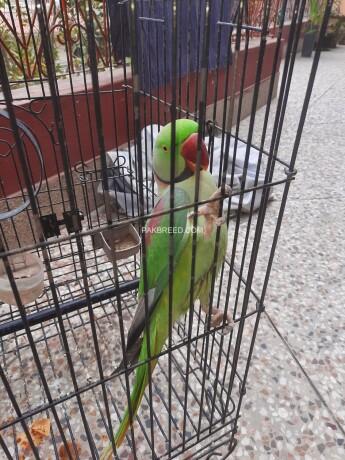 raw-talking-parrot-big-1