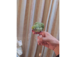 Green Ringneck parrot chick (fully covered)