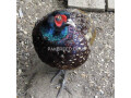 a-beautiful-pheasant-breeder-pair-small-1