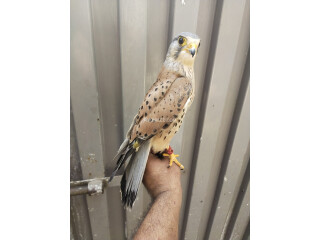 Kastral Falcon male and female available