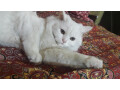 white-persian-kitten-small-0