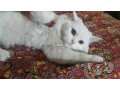 white-persian-kitten-small-3
