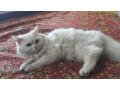 white-persian-kitten-small-2