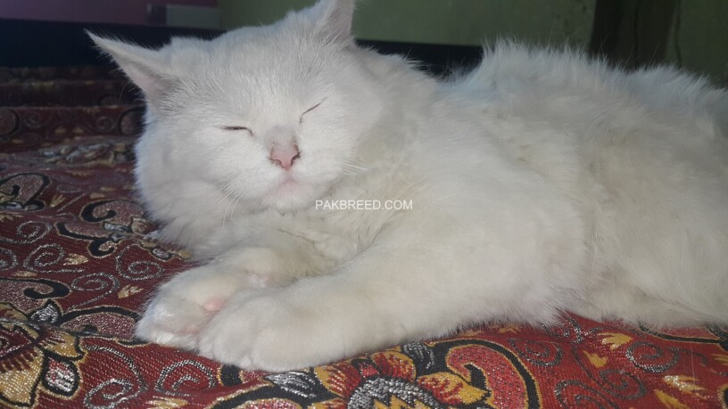 white-persian-kitten-big-4