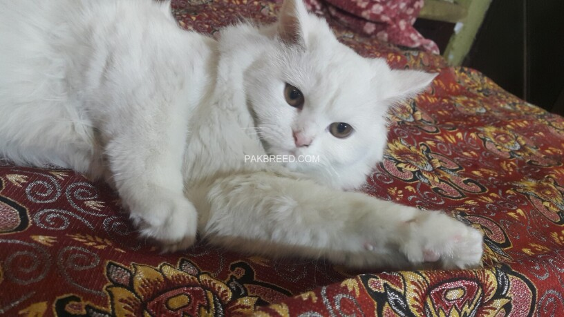 white-persian-kitten-big-0