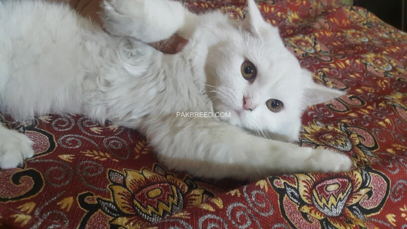 white-persian-kitten-big-3