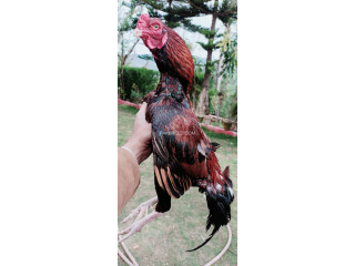Mianwali cross parrot beak aseel