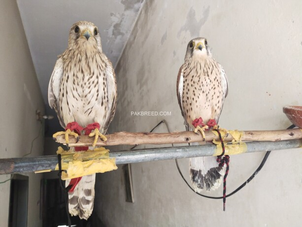 kastral-falcon-male-and-female-available-big-0
