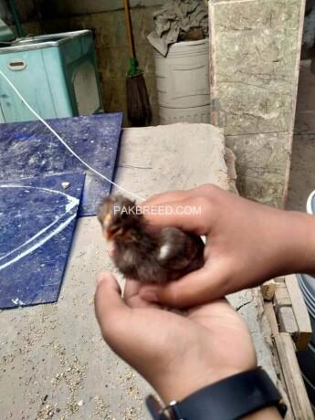 aseel-murgi-with-chicks-big-2