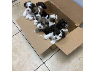 Adorable Havanese puppies available now
