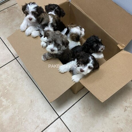 adorable-havanese-puppies-available-now-big-0