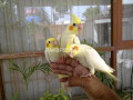 fully-hand-tamed-and-trained-common-white-cocktail-pairs-neat-and-clean-very-friendly-healthy-active-small-2