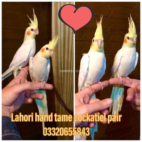 fully-hand-tamed-and-trained-common-white-cocktail-pairs-neat-and-clean-very-friendly-healthy-active-big-4
