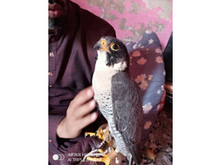 Black Shaheen Falcon