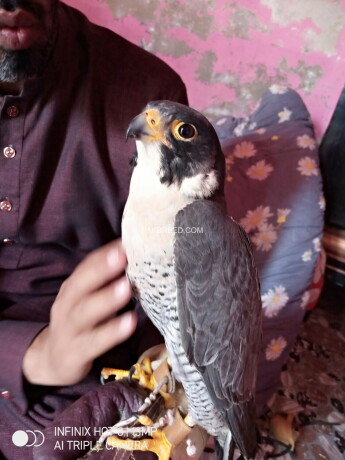 black-shaheen-falcon-big-0