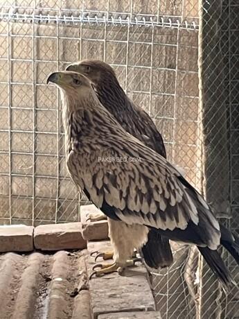 imperial-eagle-big-0