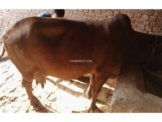 Jarsi Cross cow