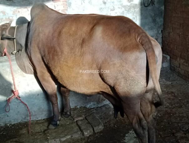 jarsi-cross-cow-big-1