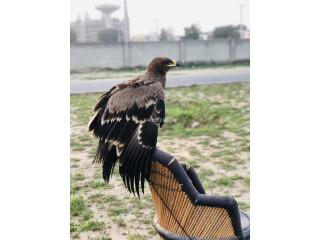 Steppy Eagle, American Migrated, well trained