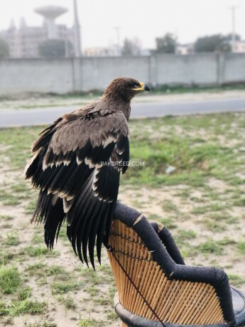 steppy-eagle-american-migrated-well-trained-big-0