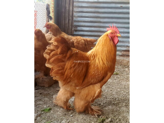 Golden Heavy Buff Cochin Rooster