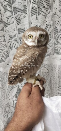 pokit-owl-big-0