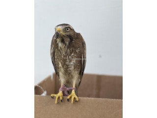 White Eye Buzzard Hand Tame