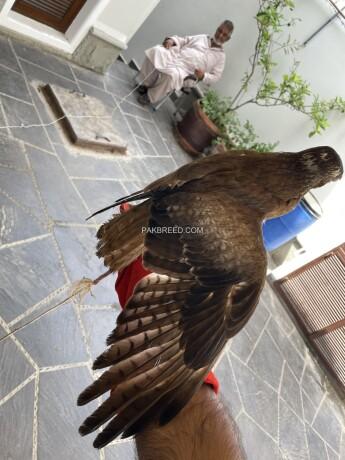 white-eye-buzzard-hand-tame-big-1