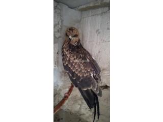 Black Kite Eagle